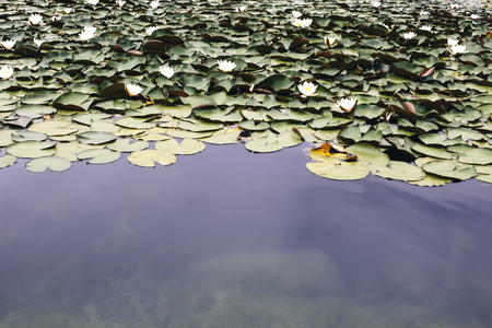 Closeup of the water lilies in the lake