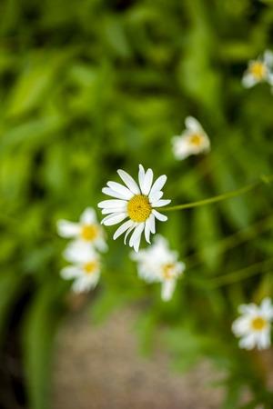 Aster flowers (Leucanthemum atratum) in the field 版權商用圖片