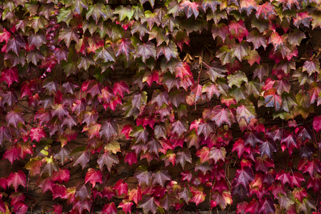 Autumn ivy leaves covering wall of the building 版權商用圖片