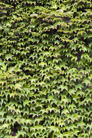 Green ivy leaves covering wall of the building
