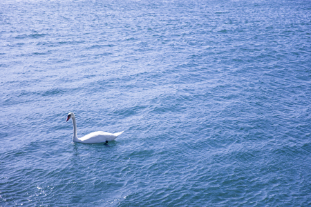 White swan in the Lake Geneva in Switzerland Banque d'images - 115344841