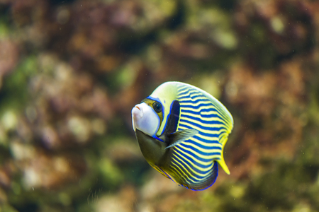 Emperor angelfish (Pomacanthus imperator) in the water