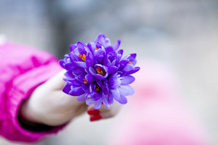Close up view at woman holding a fresh purple saffron flower Stockfoto