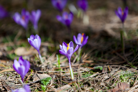 First flowers crocuses bloom under bright sunlight as background