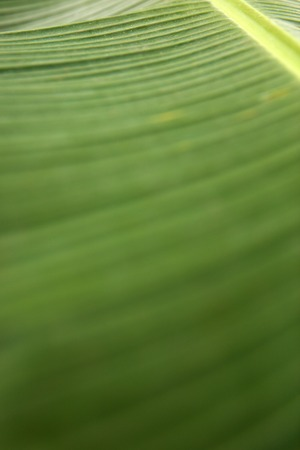 Texture of the fresh green palm leaf