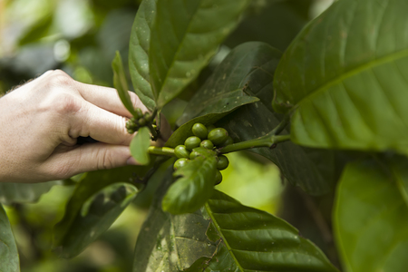 Hand with coffee beans on a branch of coffee tree with leaves on a plantation