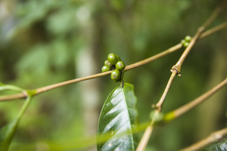 Coffee beans on a branch of coffee tree with leaves on a plantation Stock Photo