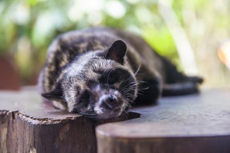 Asian palm civet (Paradoxurus hermaphroditus) on the coffee plantation