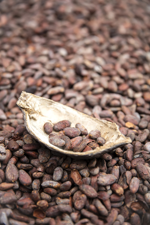 Closeup of the raw cacao beans and pod Stockfoto