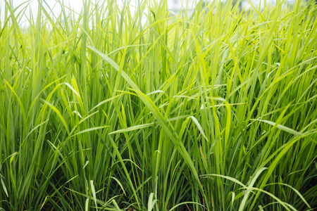 Close-up van het padieveld in heldere lichte dag