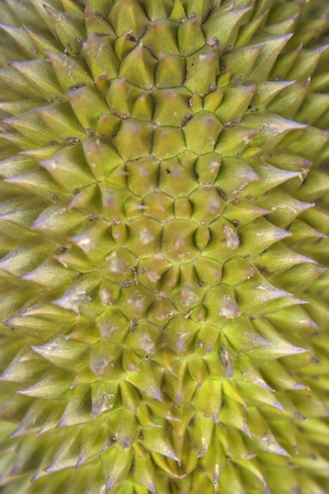 Closeup detail of the fresh tropical durian fruit