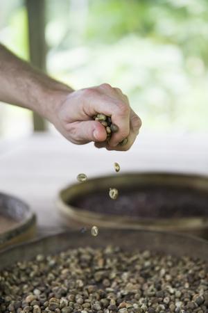 Closeup of the hand holding raw Kopi Luwak coffee beans on the coffee farm