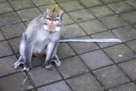 Balinese long tailed monkey (Macaca fascicularis) in Sacred Monkey Forest Sanctuary at Bali, Indonesia Stock Photo - 123328494