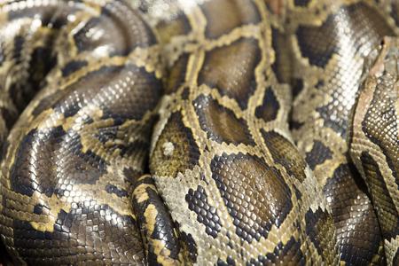 自然の中のパイソンヘビのクローズアップビュー