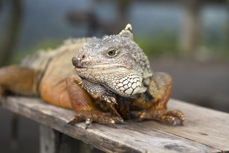 View at iguana on Bali island, Indonesia 스톡 콘텐츠