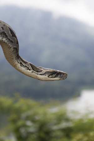 View at the python snake in nature