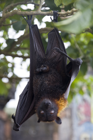 Large Flying Fox or fruit bat (Pteropus vampyrus) hanging in a tree at Bali Indonesia