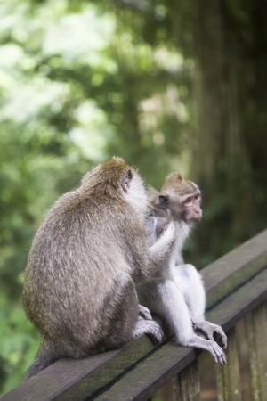 Balinese long tailed monkey (Macaca fascicularis) in Sacred Monkey Forest Sanctuary at Bali, Indonesia