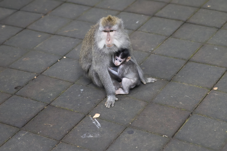 Balinese long tailed monkey (Macaca fascicularis) in Sacred Monkey Forest Sanctuary at Bali, Indonesia Banque d'images - 124399649