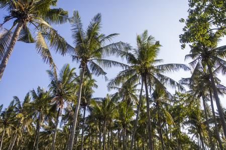 View at tropical palm trees at Nusa Penida at Bali island, Indonesia