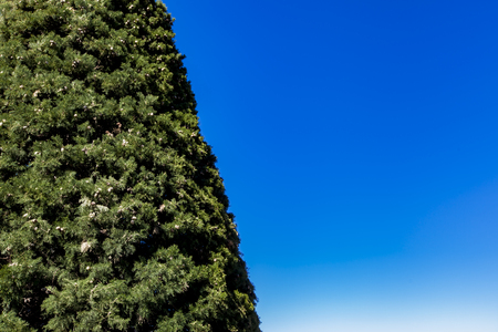 Green cypress tree against the clear blue sky