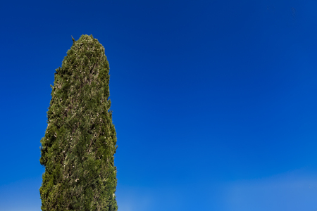 Green cypress tree against the clear blue sky Banque d'images - 124567438
