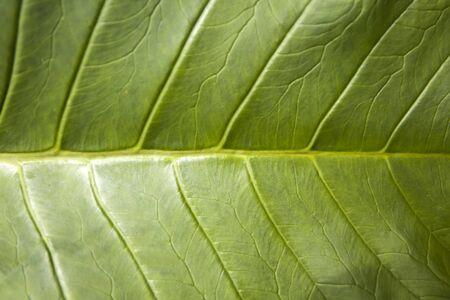 Closeup view at the Luwak coffee leaf