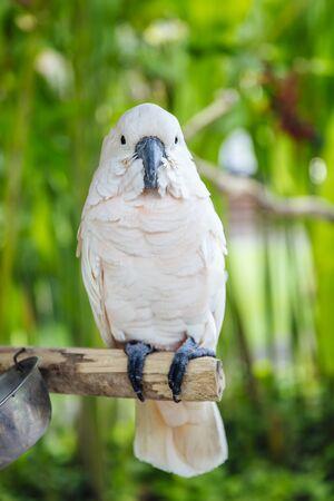 Voir au cacatoès blanc (Cacatua alba) dans la forêt tropicale