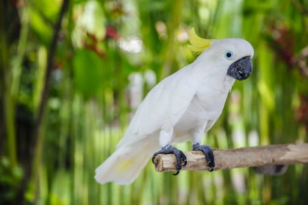 View at White cockatoo (Cacatua alba) in the tropical forest