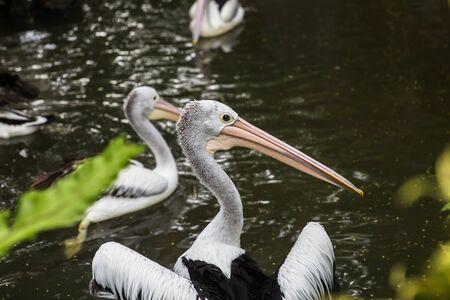 View at Australian pelicans in Bali bird park