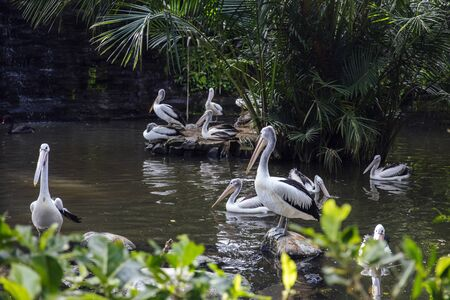 View at Australian pelicans in Bali bird park