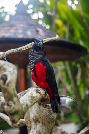 Papuan black parrot at Bali bird park in Indonesia