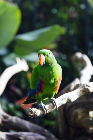 Green eclectus parrot with orange nib and red and blue feathers at Bali bird park