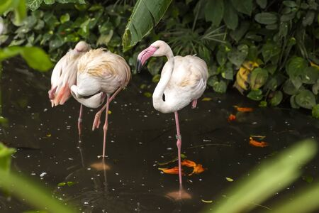View at flamingos in Bali bird park, Indonesia