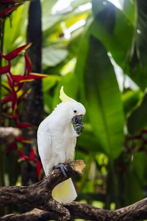 View at White cockatoo (Cacatua alba) in the tropical forest Stockfoto
