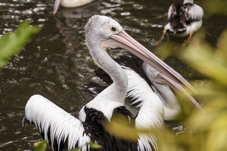 View at Australian pelicans in Bali bird park Banco de Imagens - 128822496