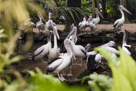 View at Australian pelicans in Bali bird park Banco de Imagens - 128822603