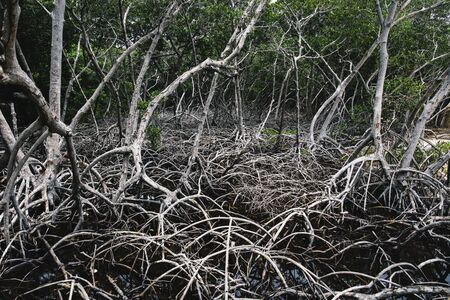 Mangrove tree roots at Rosario island in Colombia Stock fotó - 131622540