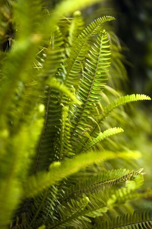 Green foliage natural floral ferns in the tropical forest