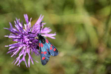 mov: Burnet Moth on a thistle Outdoor macro photography, using natural light
