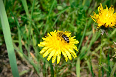 macroscopic: Close-up photography with a bee on dandelion