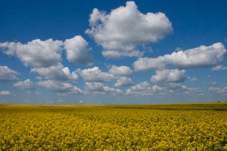 coleseed: Coleseed fields