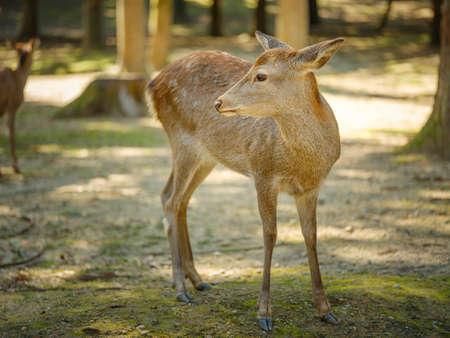 Nara deer in wild at the Nara park in Japan