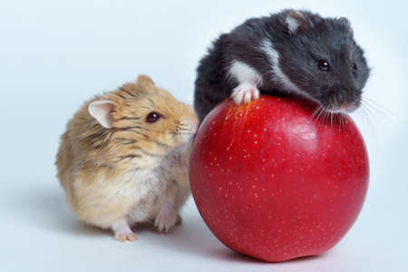 Two Hamsters and the apple isolated on white background