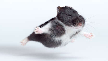 Flying Hamster isolated on white background