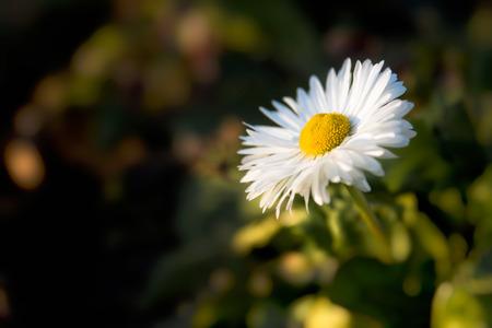 Daisy flower in the sunlight beam