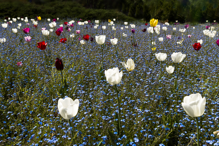 Colorful tulips in a field of forget-me-nots flowers
