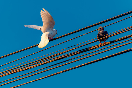 White dove - black dove sitting on electical wires