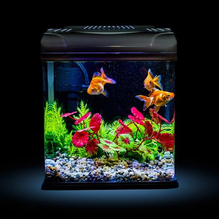 Goldfish in a night illuminated aquarium