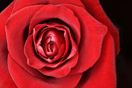 Macro of beautiful rose for anniversary postcard photo